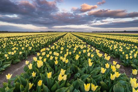 Veld met gele tulpen bij dreigende wolken
