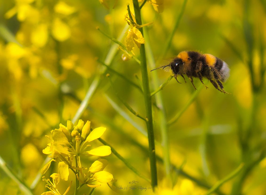 Hommeltje - Op deze regenachtige dag maar een aardige voorjaarsfoto opgezocht. Vliegende hommels, lastig te fotograferen in de vlucht, maar leuk om te doen. - foto door Waltherwb op 28-03-2021 - deze foto bevat: hommel, lente, licht, zomer