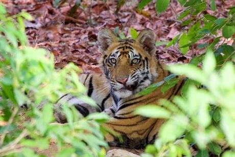 Tijger in India