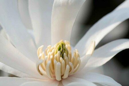 Stermagnolia - - - foto door bertus52 op 05-04-2021