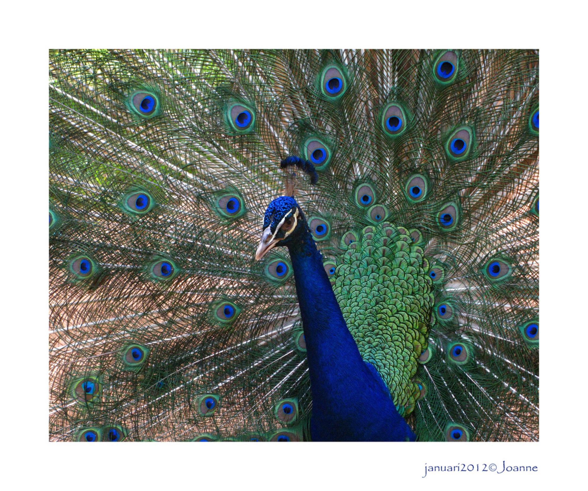 Braziliaanse pauw - Een plaatje dat ik ook in Nederland had kunnen maken, maar deze pauw is echt Braziliaans. Was door voor de Iquazu watervallen, maar vond deze pauw oo - foto door Lathyrus op 20-01-2012 - deze foto bevat: pauw - Deze foto mag gebruikt worden in een Zoom.nl publicatie