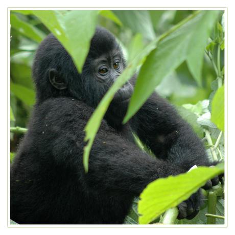 jonge berggorilla