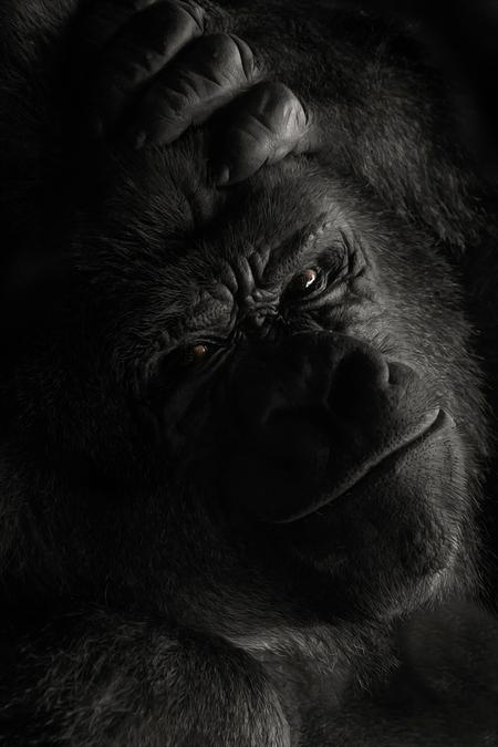 Let Me Think About It - Een portret van Bokito wat een indrukwekkend dier een echte Boss. In het binnenverblijf gefotografeerd door het glas zonder flits, was nog een uitda - foto door daan de vos op 04-11-2019 - deze foto bevat: natuur, aap, gorilla, blijdorp