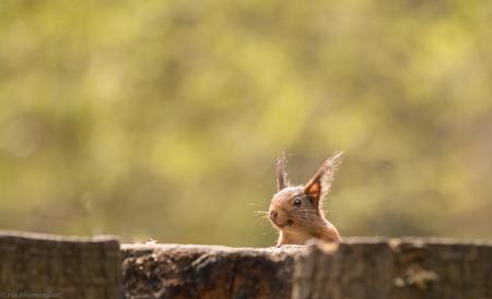 ik zie je wel.... - Net toen hij met zijn koppie boven de boomstam uitkwam, was daar die fotograaf..... - foto door riabloemendaal op 17-04-2018 - deze foto bevat: eekhoorn