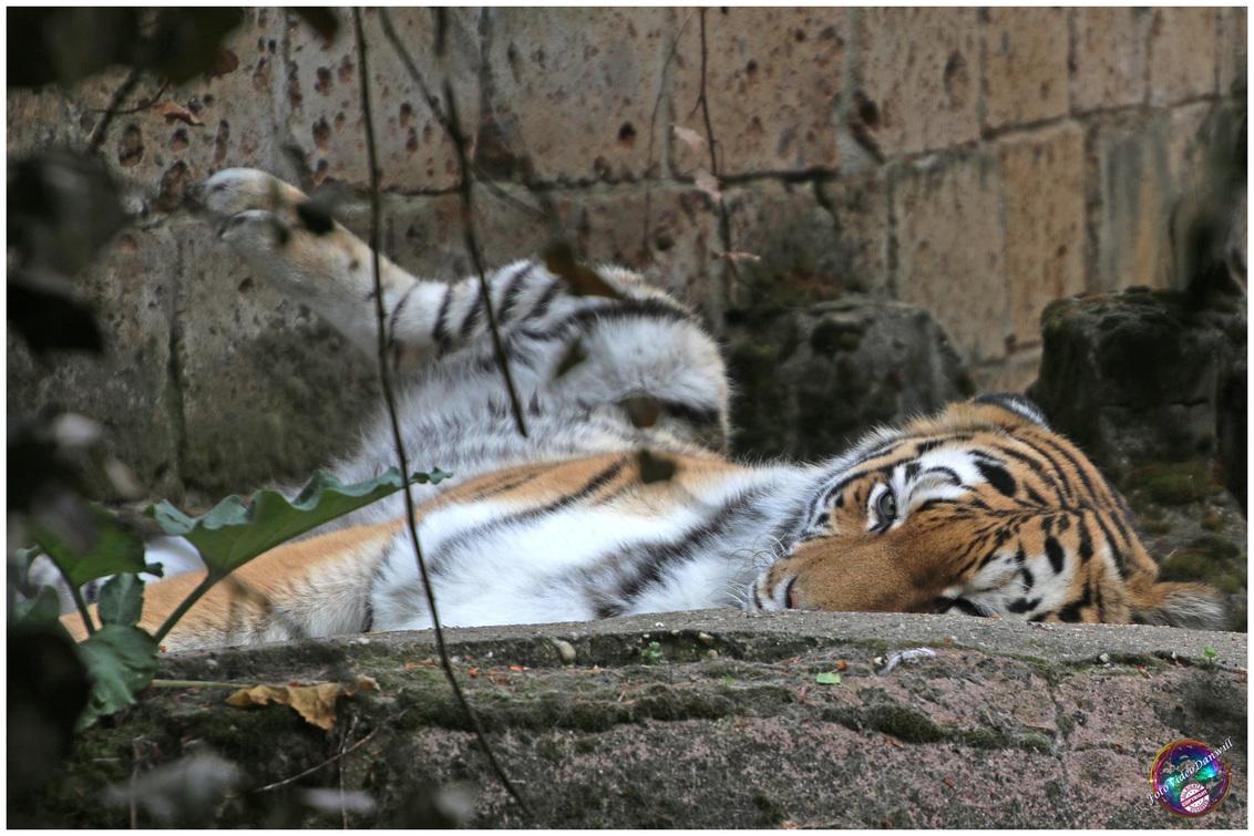 Ik had je wel gezien ... - - - foto door willemdanker op 10-12-2018 - deze foto bevat: dierentuin, tijger, amersfoort, katachtige, roofdier