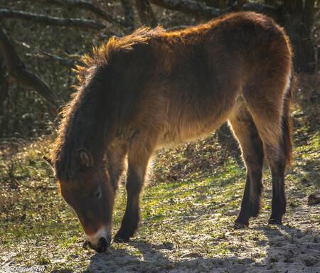 Exmore pony in de Noordhollandse duinen. - Zoom had als aanrader voor foto's de Noord Hollandse duinen. Nu kom ik wekelijks in dit schitterende gebied en het is waar je maakt daar veel te veel - foto door rits op 08-03-2021 - deze foto bevat: exmore pony, veulen., het woudt, noordhollandse duinen