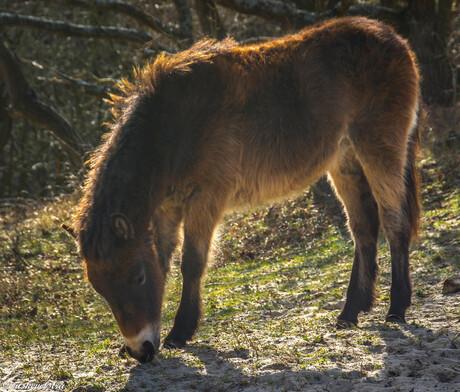 Exmore pony in de Noordhollandse duinen.
