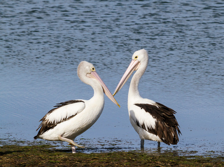 Australische Pelikanen