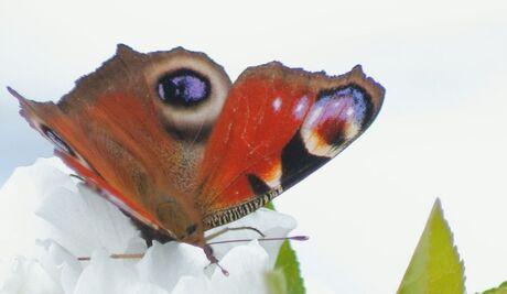 vlinderogen