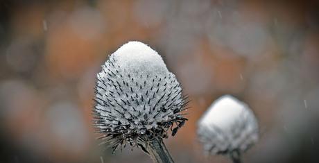 enchinacea met sneeuw