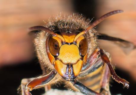 Hoornaar bij nest