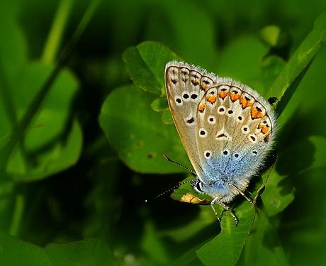 Icarisblauwtje
