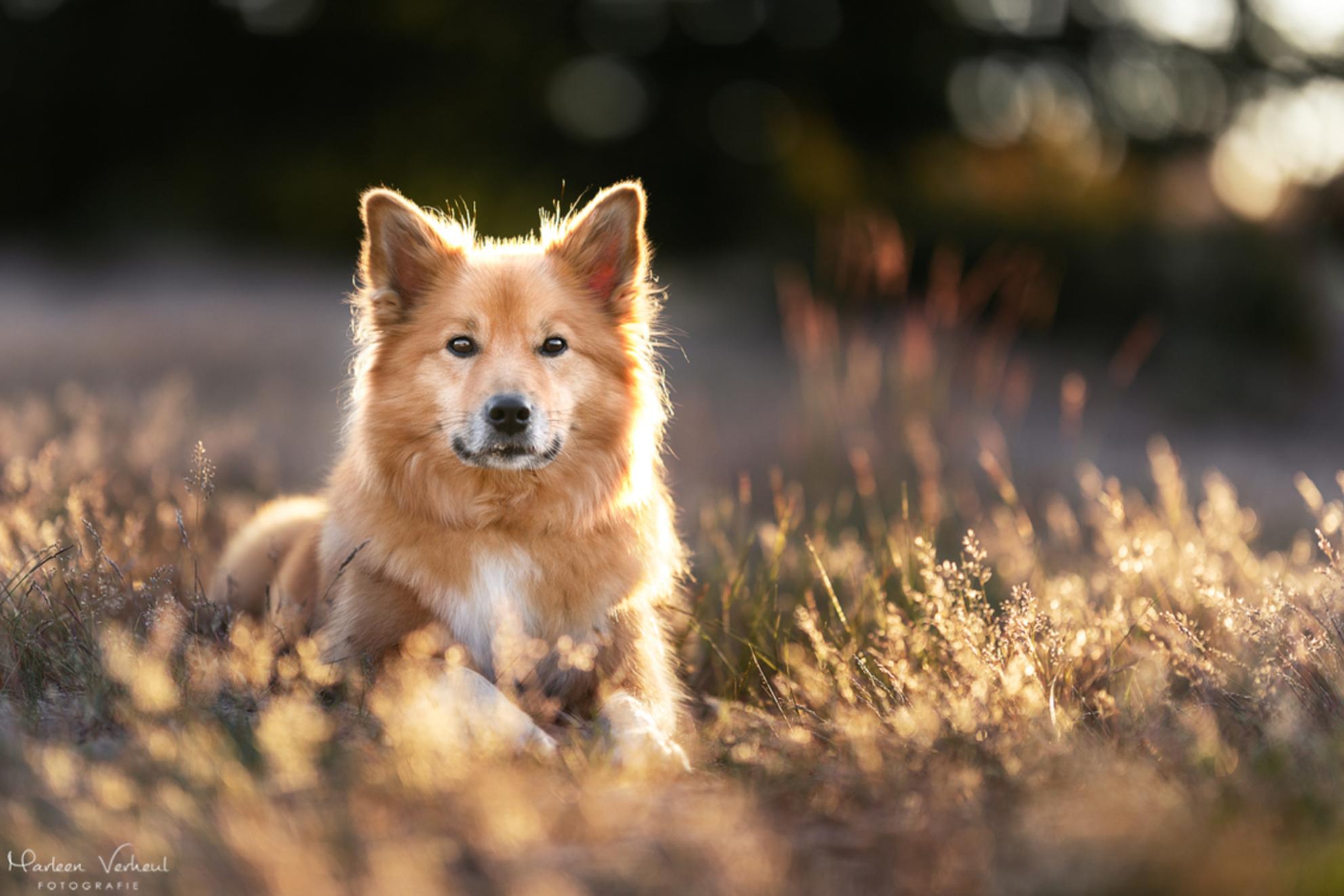Zonsondergang - - - foto door MarleenVerheulFotografie op 21-06-2020 - deze foto bevat: dieren, huisdier, hond