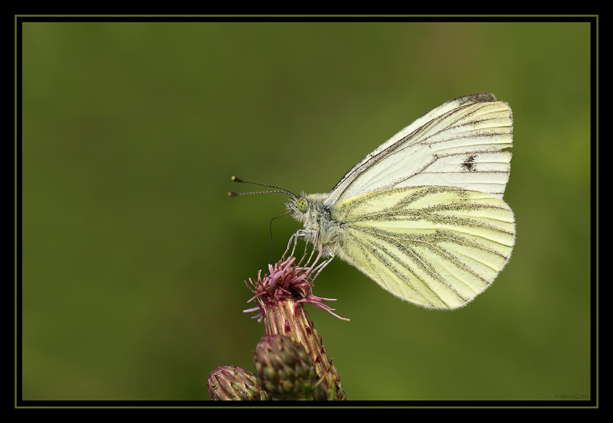 Geaderd Witje - Opname van afgelopen zomer. Dit Geaderd Witje zat er even mooi bij op het terrein van het Bezoekerscentrum te 's Graveland. Heeft heel wat geduld gek - foto door Harald_zoom op 30-01-2012 - deze foto bevat: macro, natuur, vlinder, insect, Geaderd witje