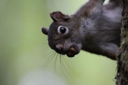squirrel - Omdat het in het bos nogal donker was, heb ik een hoge ISO waarde moeten gebruiken. Toch ben ik redelijk tevreden met deze opname. - foto door dunawaye op 23-08-2011 - deze foto bevat: canada, eekhoorn, squirrel, vancouver island, Campbell River, Elk Falls Provincial Park
