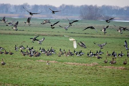 DSC00453 - Er is onrust onder de ganzen en de zilverreiger. - foto door metvanderheijden op 04-01-2021 - deze foto bevat: natuur, landschap, ganzen, weidelandschap, zilverreiger