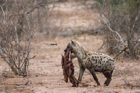Hyena met prooi
