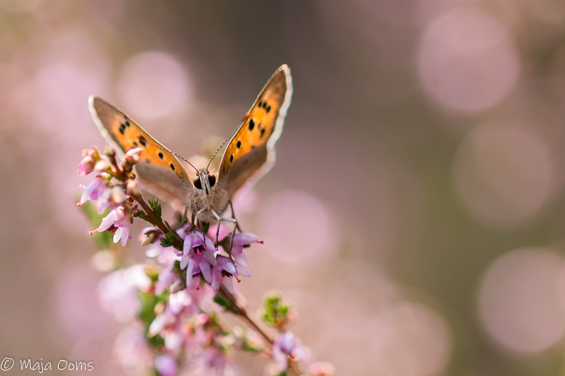 Pink fire... - Vanmiddag rondje bos voor paddenstoelen, toen we op een stukje heide stuitten. Enthousiast dat we wel 1 blauwtje zagen. Even later ook een aantal kle - foto door mb83 op 30-08-2018 - deze foto bevat: paars, macro, bloem, natuur, vlinder, licht, heide, insect, vuurvlinder, dof, bokeh