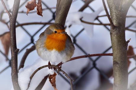 Roodborstje in de sneeuw..
