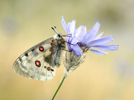 Apollovlinder