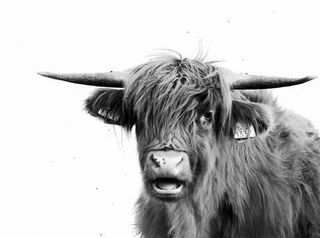 Portret van een hooglander