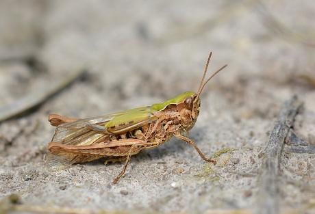 Omocestus Viridulus (wekkertje)