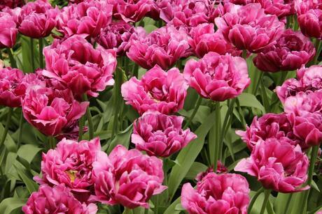 tulpen of rozen ?