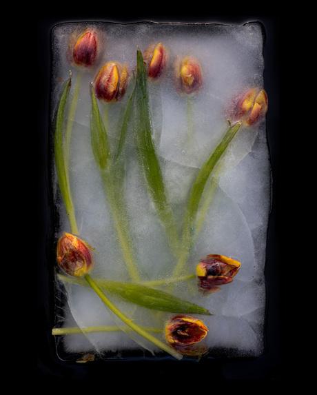 tulips in ice-olation