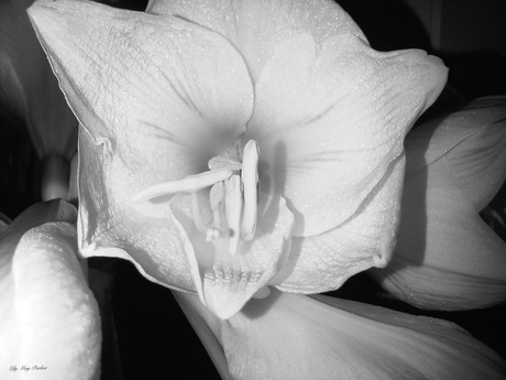 Dying Lily