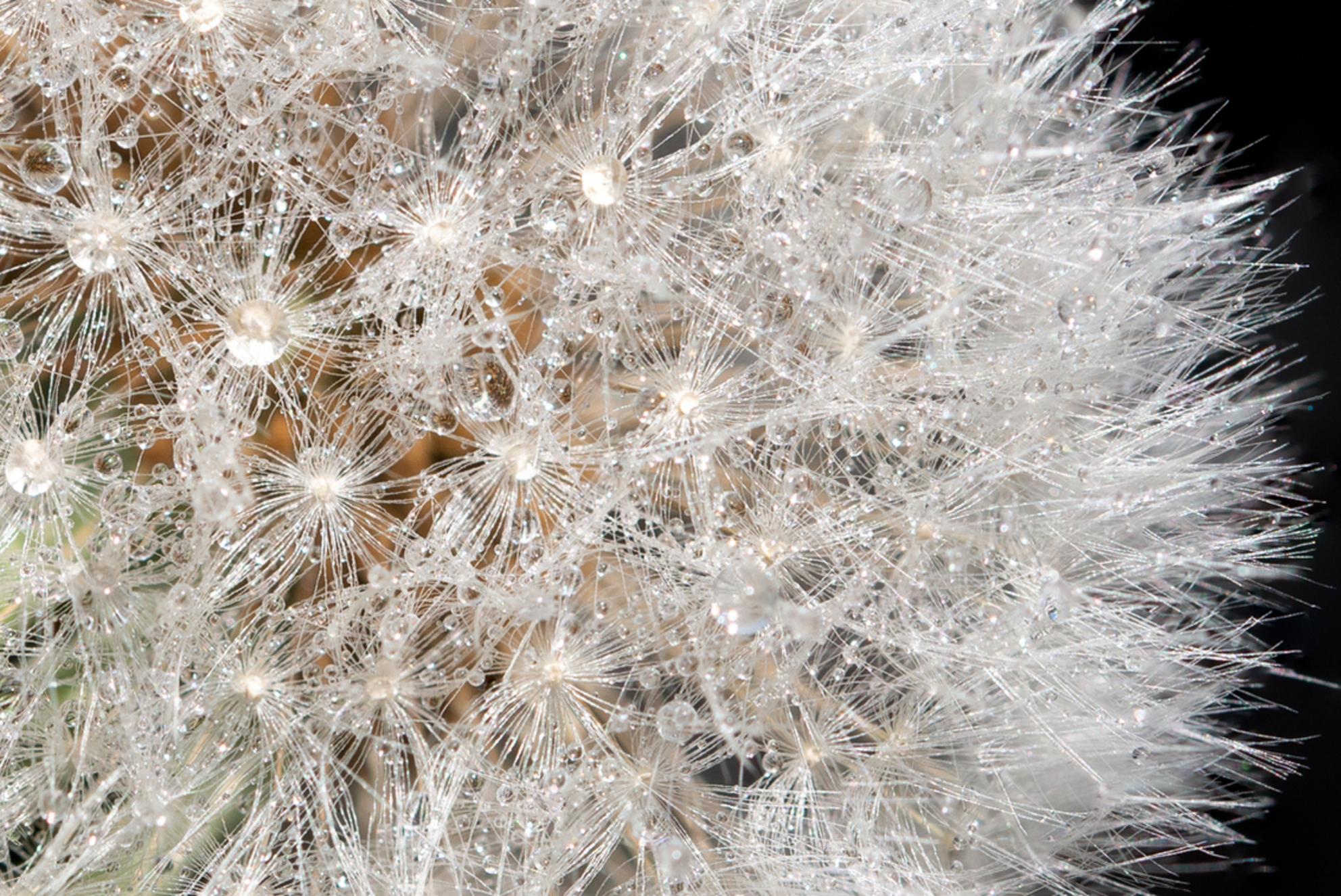 Paardenbloem close-up - Focusstack van een close-up opname van een paardenbloem - foto door RBvandaag op 12-05-2019 - deze foto bevat: macro, bloem, lente, natuur, druppel, tuin, paardenbloem, dauw