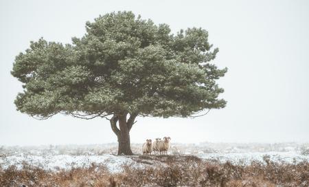 Sheep - - - foto door renevierhuis op 19-01-2021 - deze foto bevat: boom, natuur, sneeuw, winter, landschap, mist, heide, drenthe, schapen, dwingelderveld
