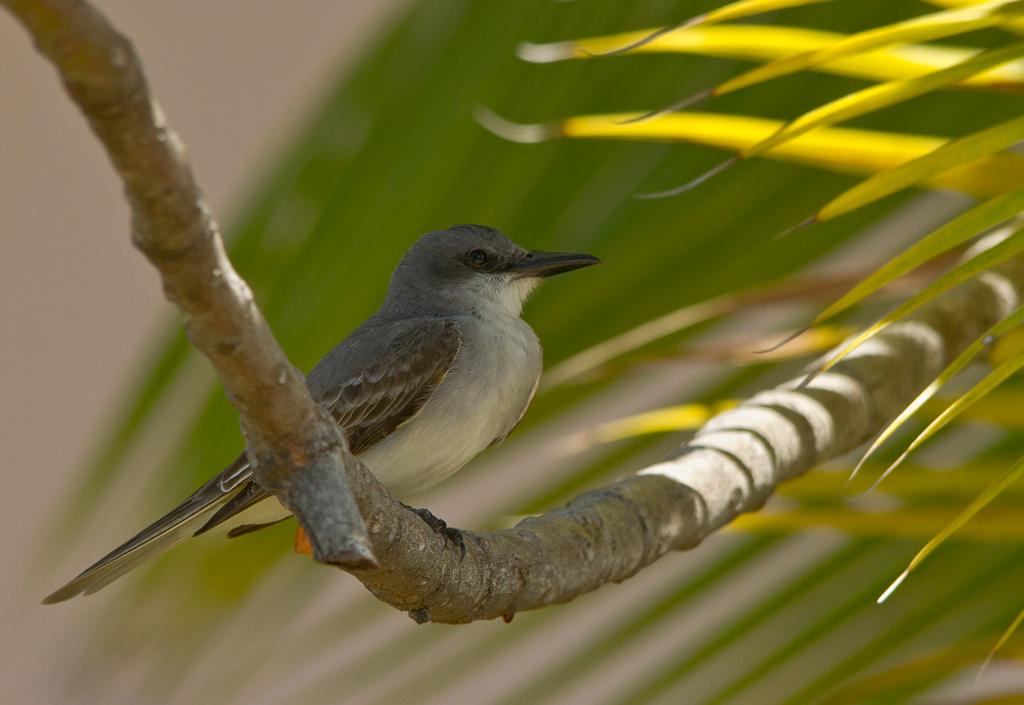 Grijze koningstiran (Dominicaanse Republiek) - - - foto door gras4711 op 27-05-2015 - deze foto bevat: natuur, dieren, safari, vogel, wildlife, caribean, Dominicaanse Republiek, tiran, koningstiran