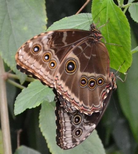 Vlinder bruin met ringen.jpg - Vlinder bruin met ringen.jpg - foto door sonnodutch op 29-01-2014 - deze foto bevat: vlinder, dieren, fauna