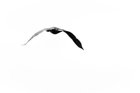 Aalscholver op de vlucht....(2)