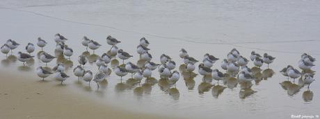 drieteenstrandlopers op egmondse strand 2