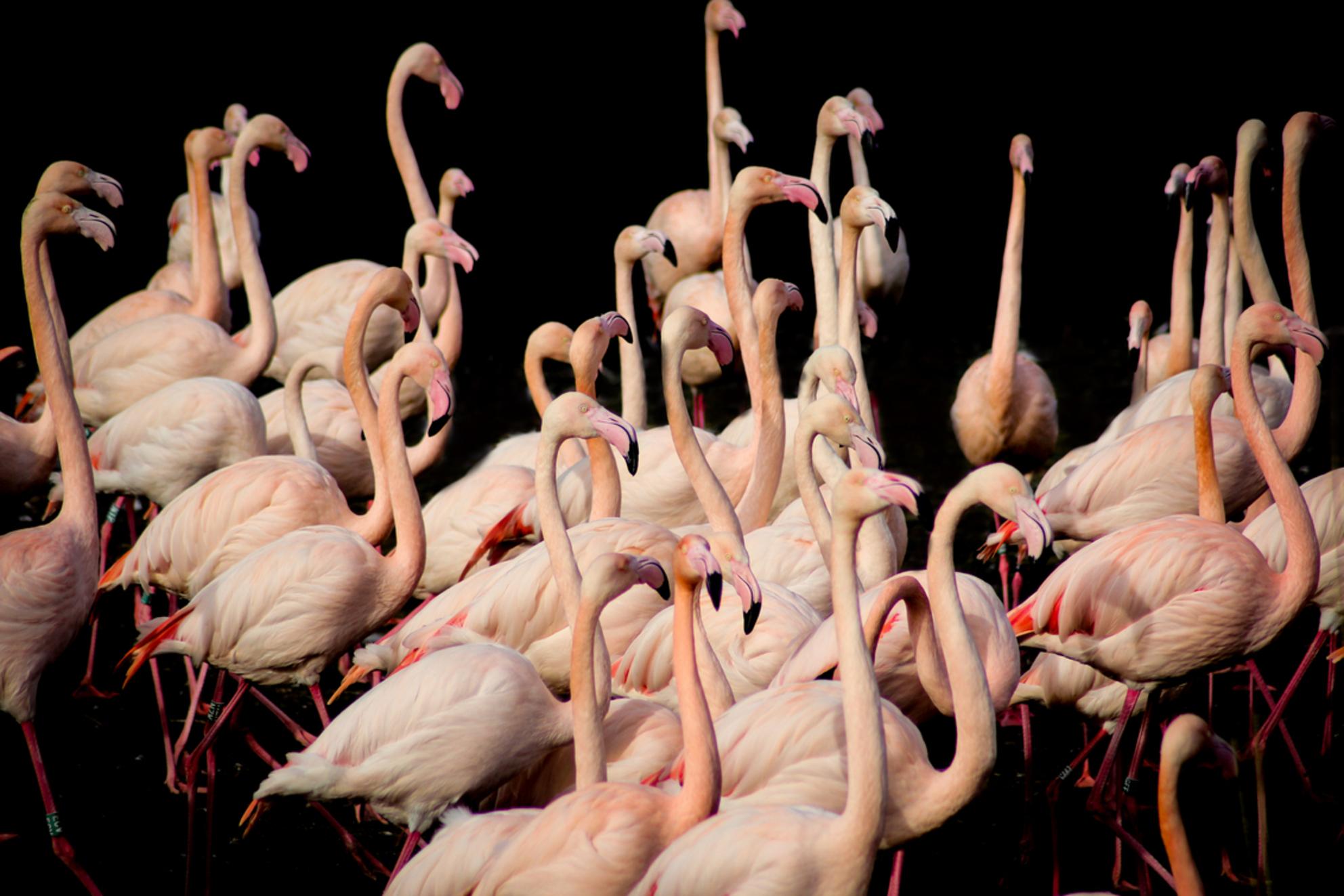 Pink - - - foto door VivianvandenEnde op 16-06-2015 - deze foto bevat: dierentuin, dieren, watervogel, wildlife, blijdorp - Deze foto mag gebruikt worden in een Zoom.nl publicatie