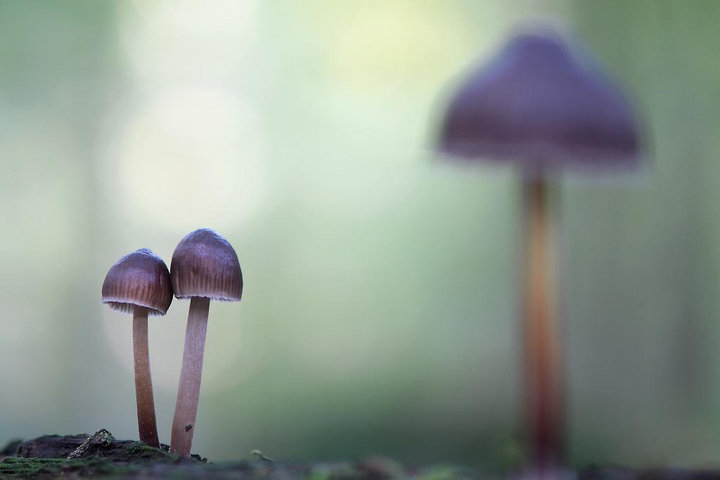 Mycena spec - Op een boomstam stonden veel van deze kleine paddenstoelen. Op zoek gegaan naar een leuke compositie. - foto door Paul1973_zoom op 24-09-2017 - deze foto bevat: macro, natuur, licht, paddestoel, bos, bokeh
