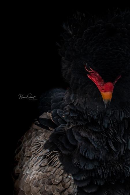 Bateleur - - - foto door Bianca Schmidt op 18-02-2021 - deze foto bevat: dieren, roofvogel, afrika, wildlife