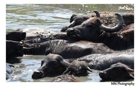 Buffels uit de 'oude' doos