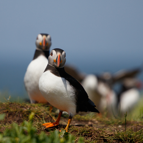 Puffin duo