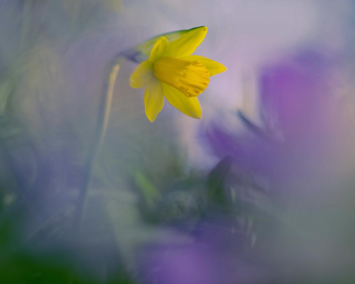 narcis - iedereen bedankt voor de reacties op mijn vorige upload mvg.remco - foto door loeffen_zoom op 01-03-2021 - deze foto bevat: bloem, lente, natuur, licht, dof