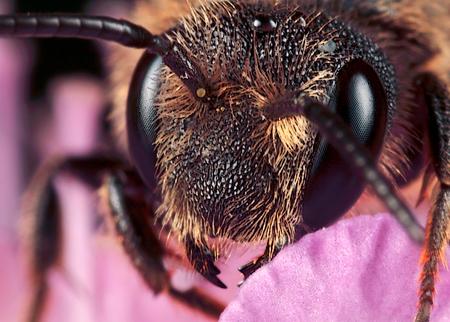 Wegwezen - Ik was hier eerder. Metselbijtje, gemaakt met vergrotingsfactor 5, f/13, ISO 100 en 1/250 sec. De grote versie is te vinden op  [url]http://www.huu - foto door hwdewaard op 01-02-2012 - deze foto bevat: natuur, bij, portret, insect, dier, micro, huub, macor, Zoom.nl, metselbijtje