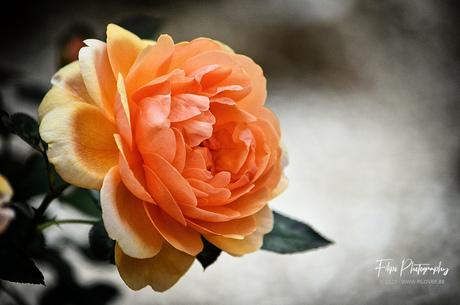 Rosa 'Brigitte Fossey'