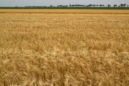 gerst - - - foto door JWil op 29-07-2014 - deze foto bevat: graan, bomen, goud, ruimte, leegte, groningen, boer, landbouw, gerst, akker, akkerbouw