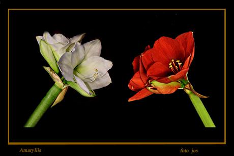 Amaryllis rood wit