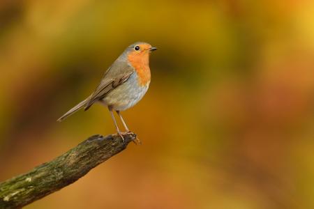 Roodborstje - Sinds ik fotografeer, hou ik van de herfst :-) - foto door guurtje op 19-11-2014 - deze foto bevat: oranje, herfst, roodborstje, vogel, nederland, guurtje