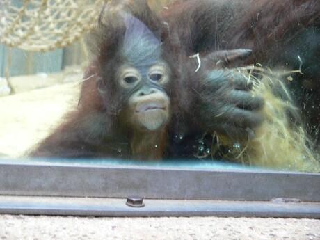 aapje tegen het glas
