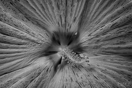 Hibiscus Black&white