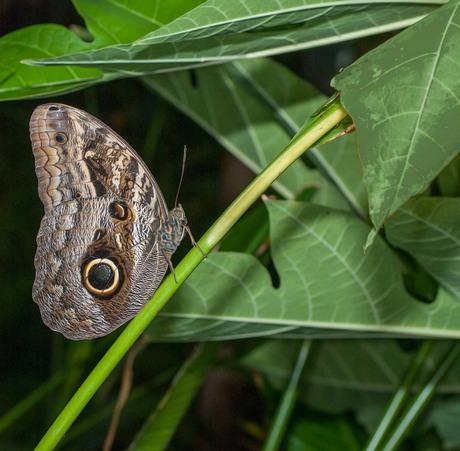 Brassolidae (V-Z)