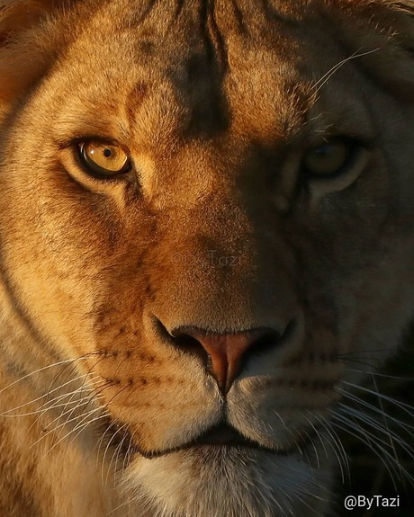 Golden hour lioness